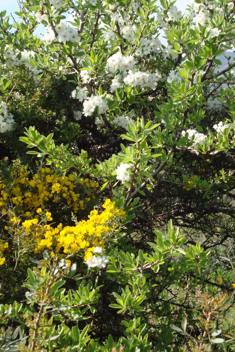 Die Macchia ist ein einziges Blütenmeer. Gelb dominiert, aber wenn man genau hinschaut, gibt es noch viele andere Farben